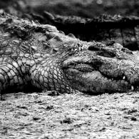 Crocodiles Sleeping