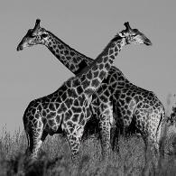 Giraffes Relaxing in the Sun