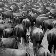 Gnus in Ngorongoro Crater