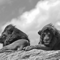 Male Lions Relaxing on a Rock