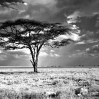 Sunlight shining on an acacia tree.