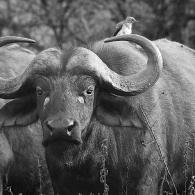 Water Buffalo - Portrait