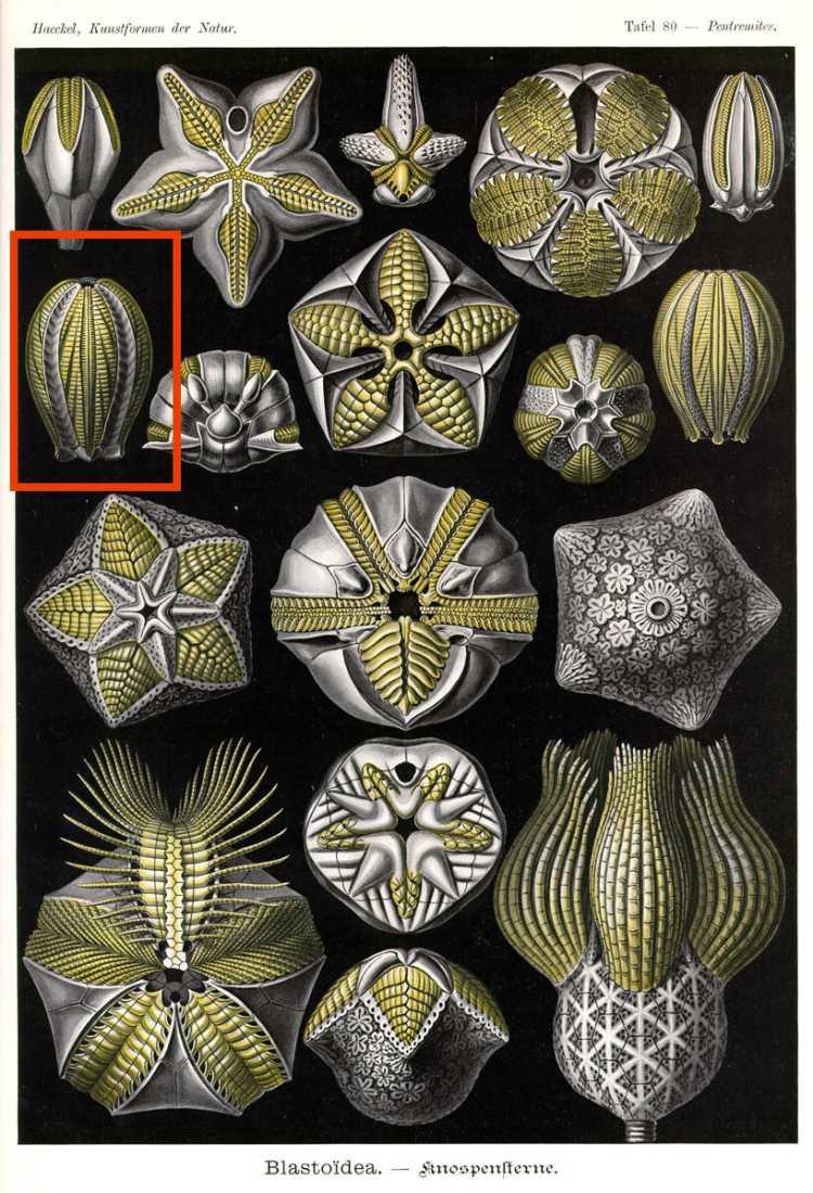 Elaeacrinus olivanites