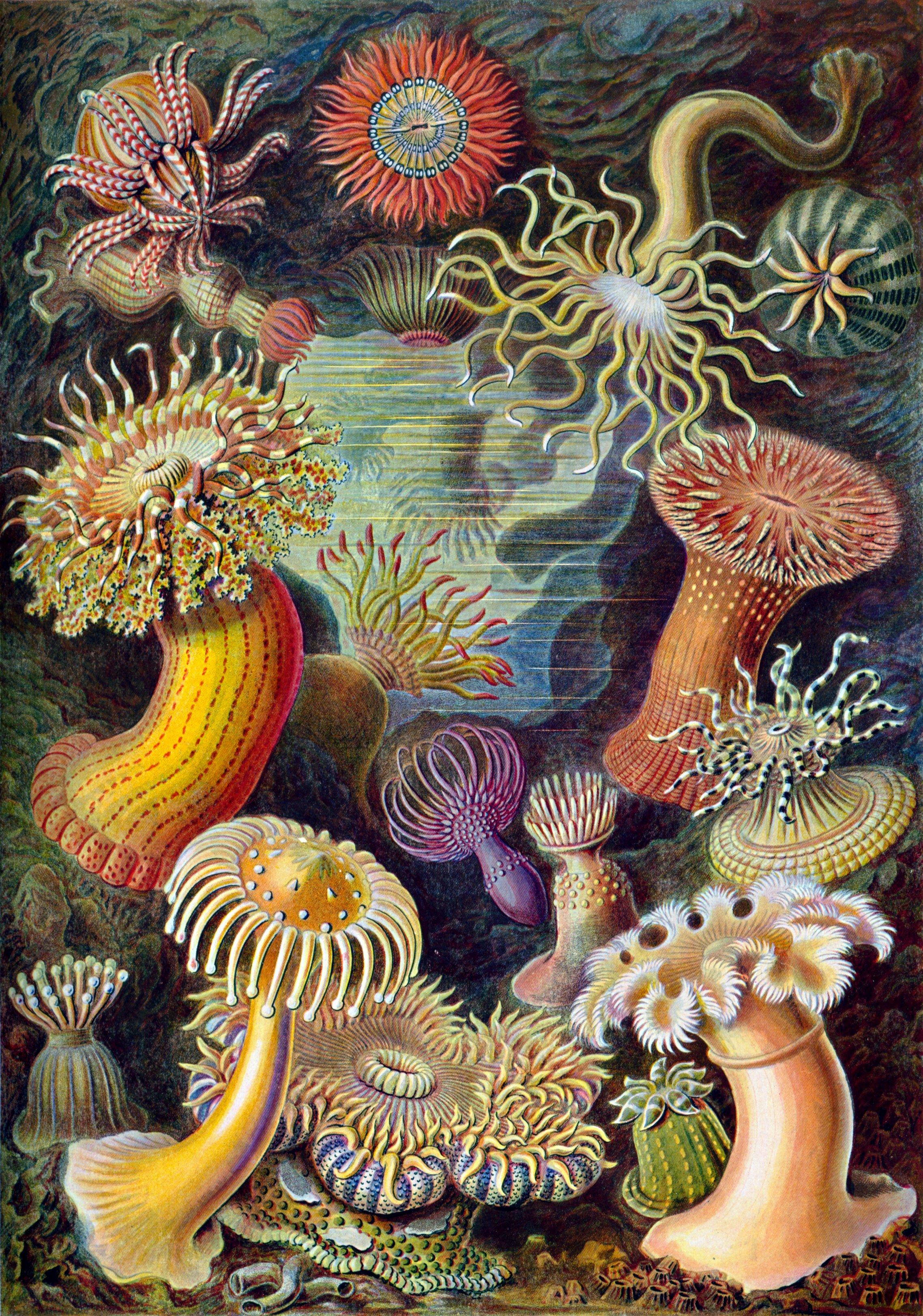 Haeckel-Actinae