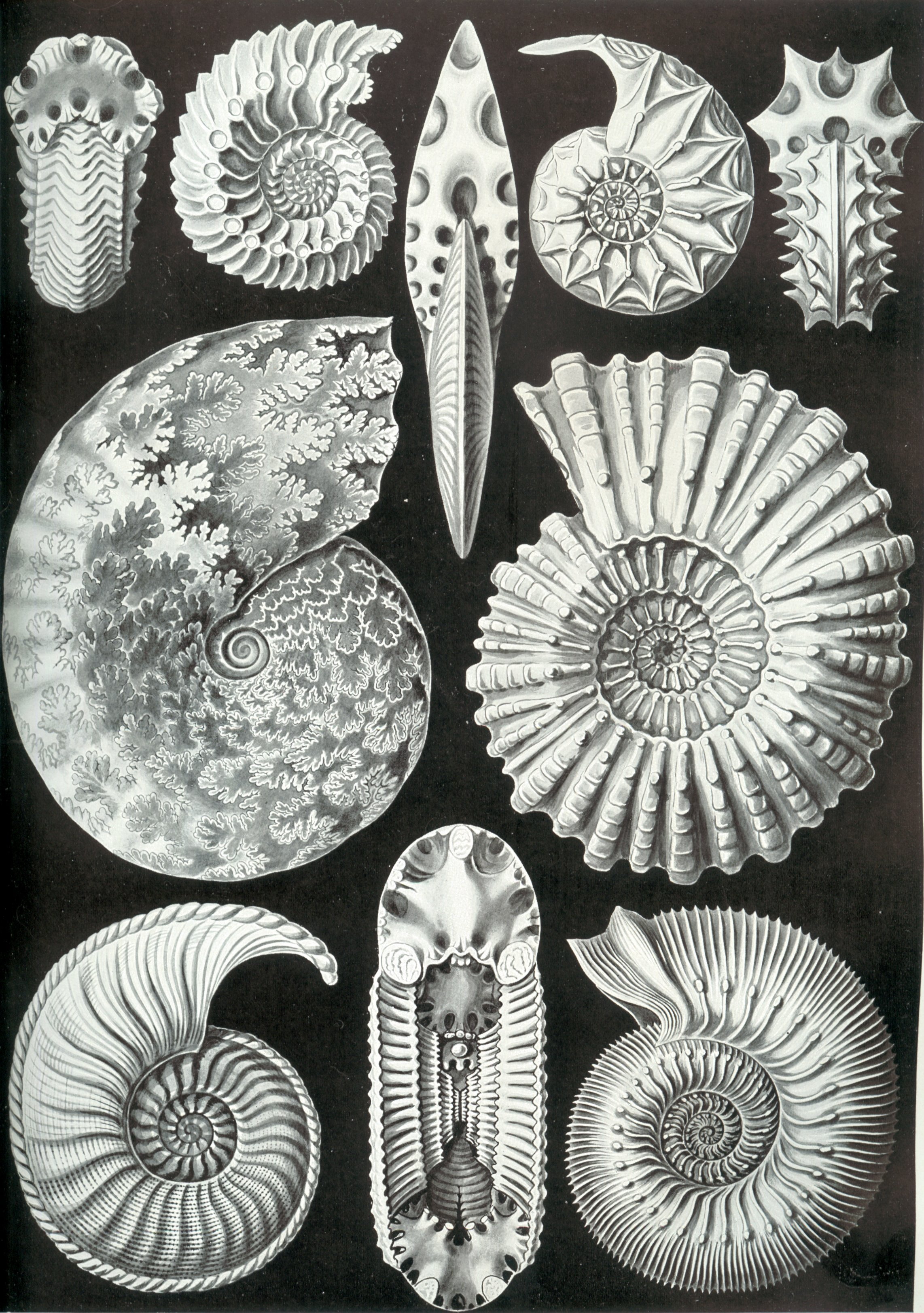 Haeckel-Ammonitida