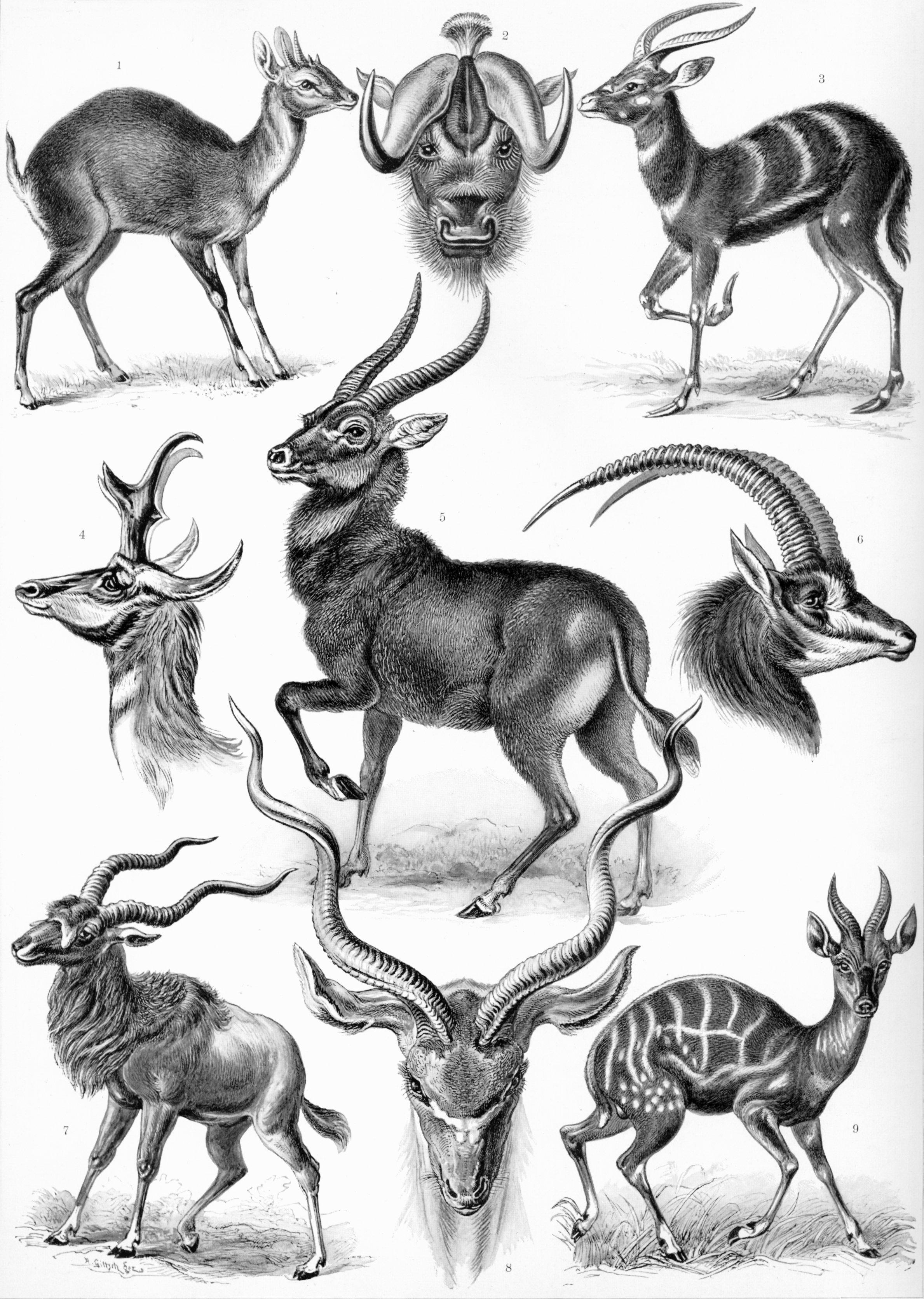 Haeckel-Antilopina