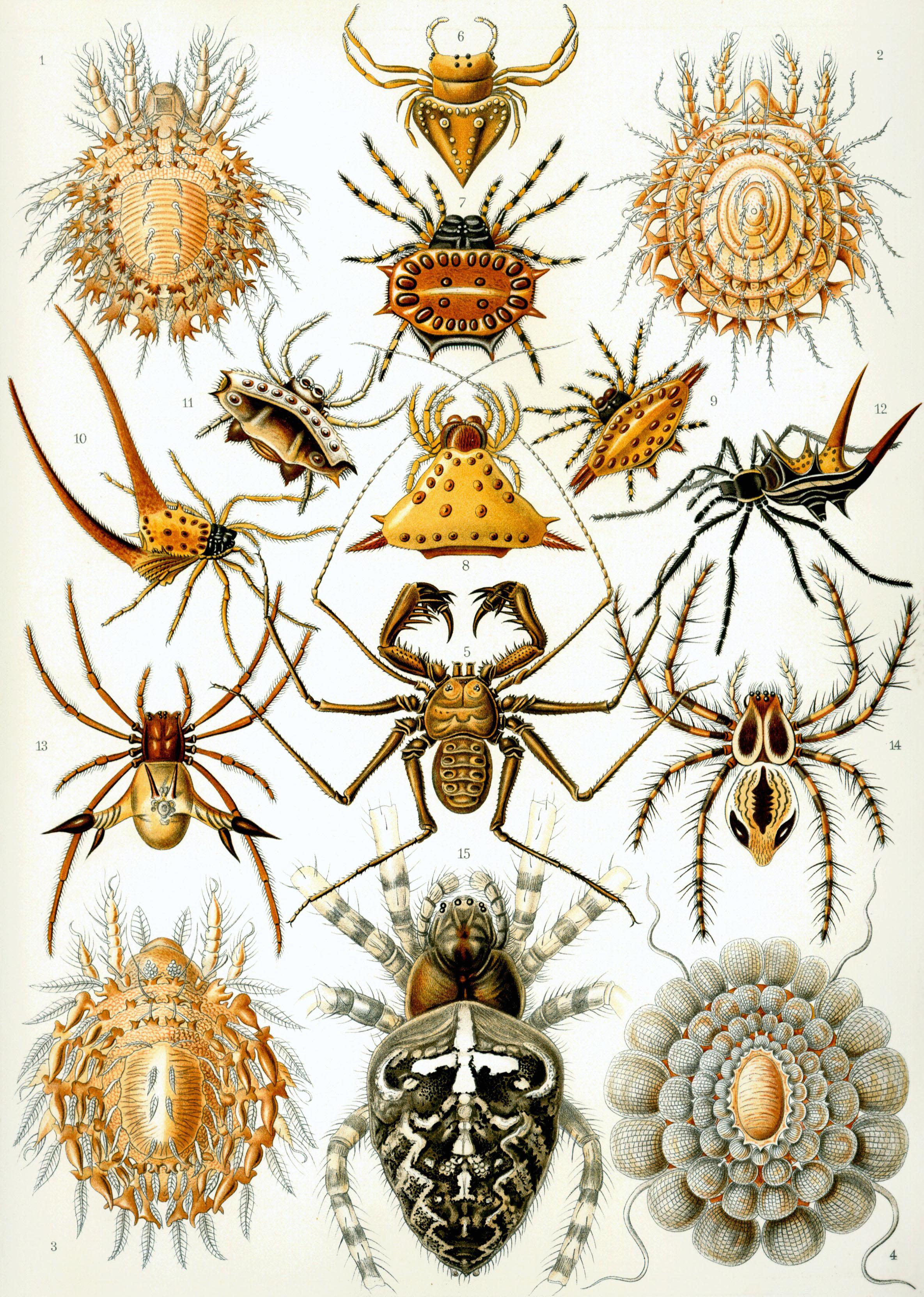 Haeckel-Arachnida