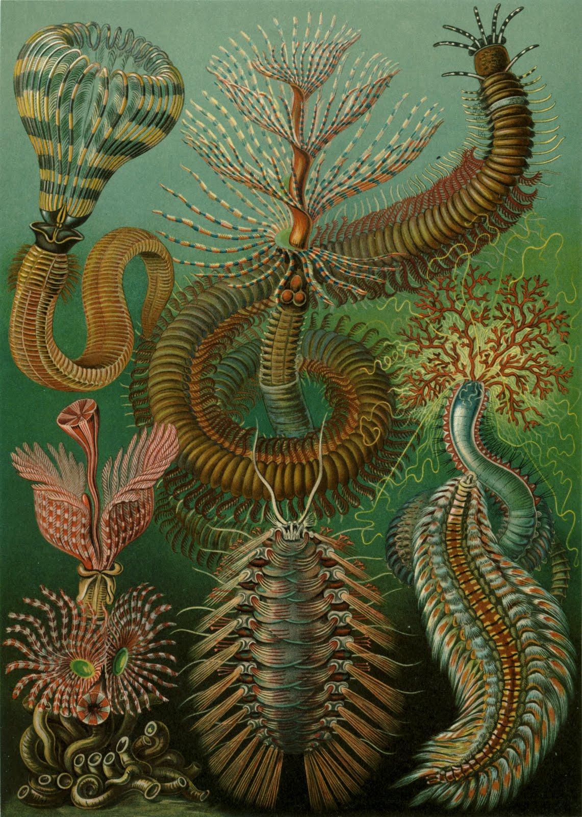 Haeckel-Chaetopoda