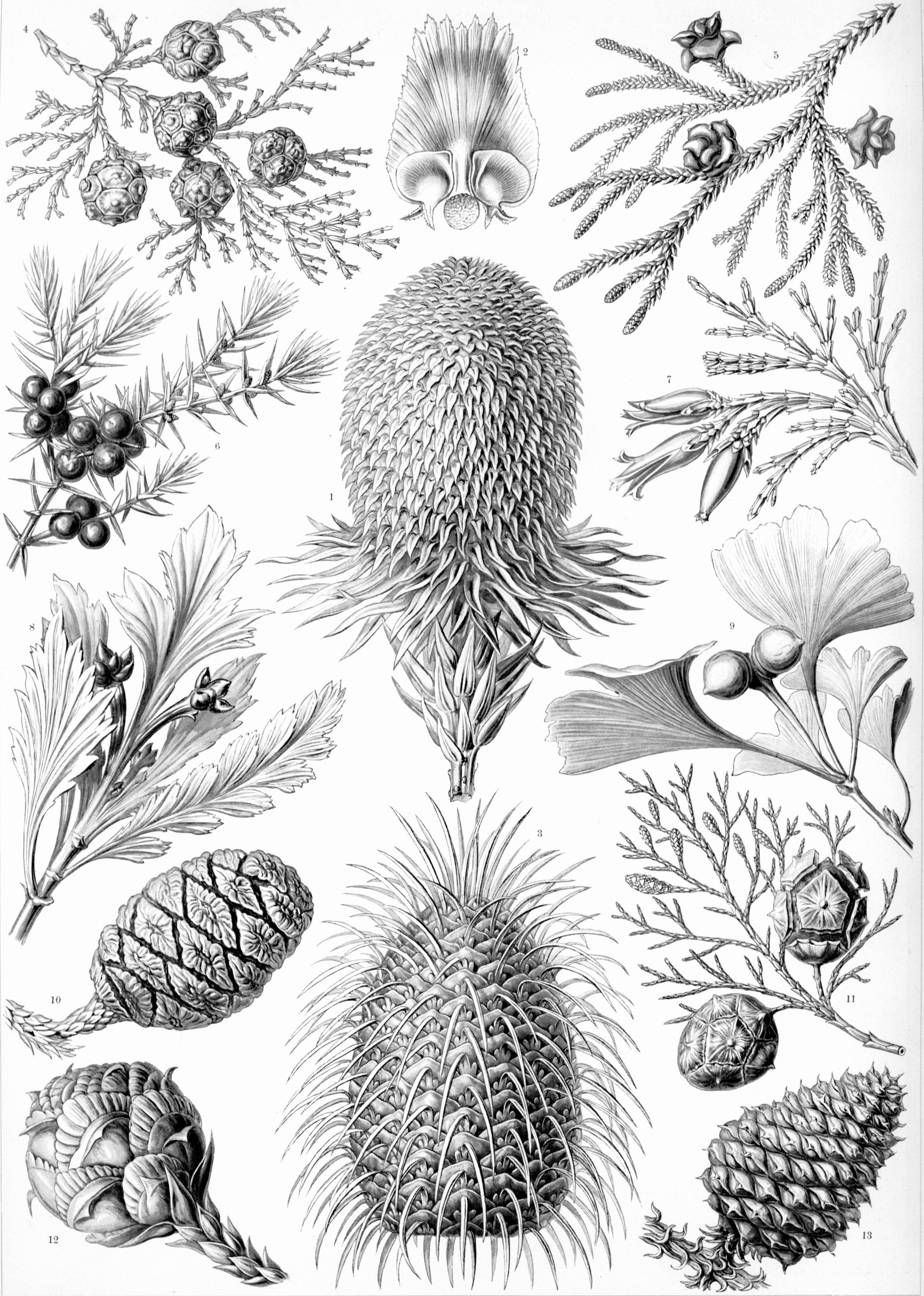 Haeckel-Coniferae