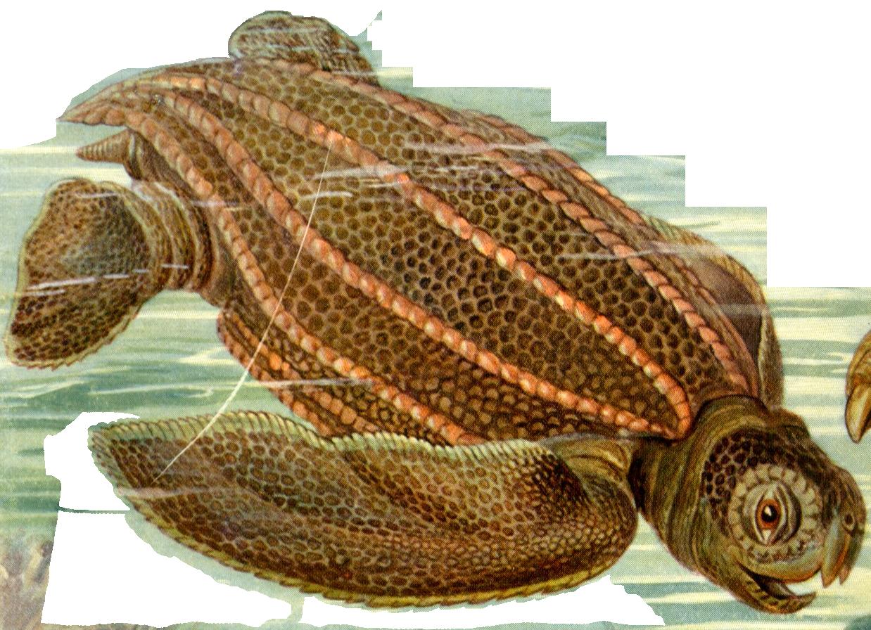 Haeckel-Dermochelys-Coriacea