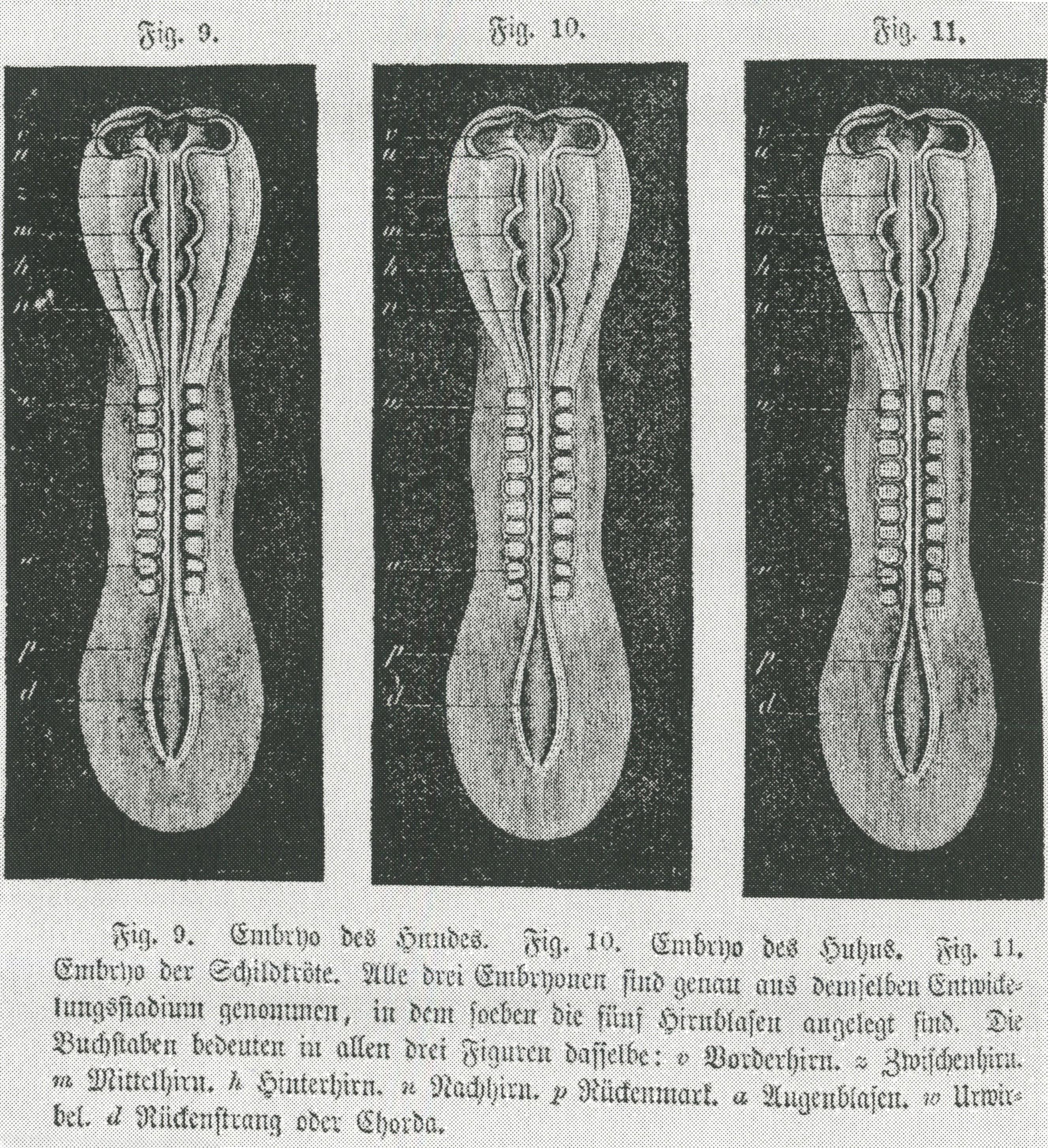 Haeckel-Embryos