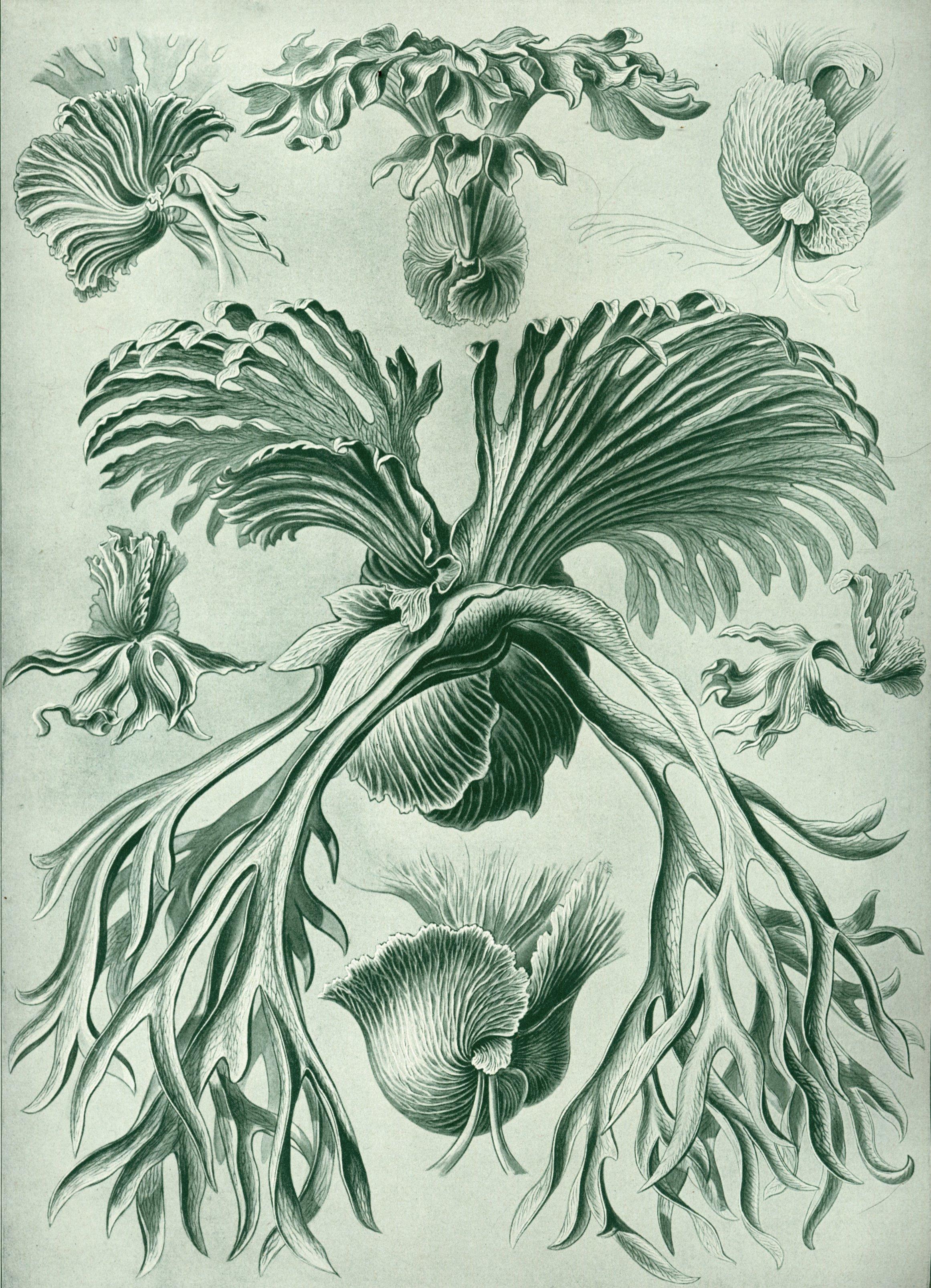 Haeckel-Filicinae