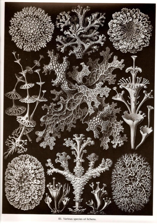 Haeckel-Lichens