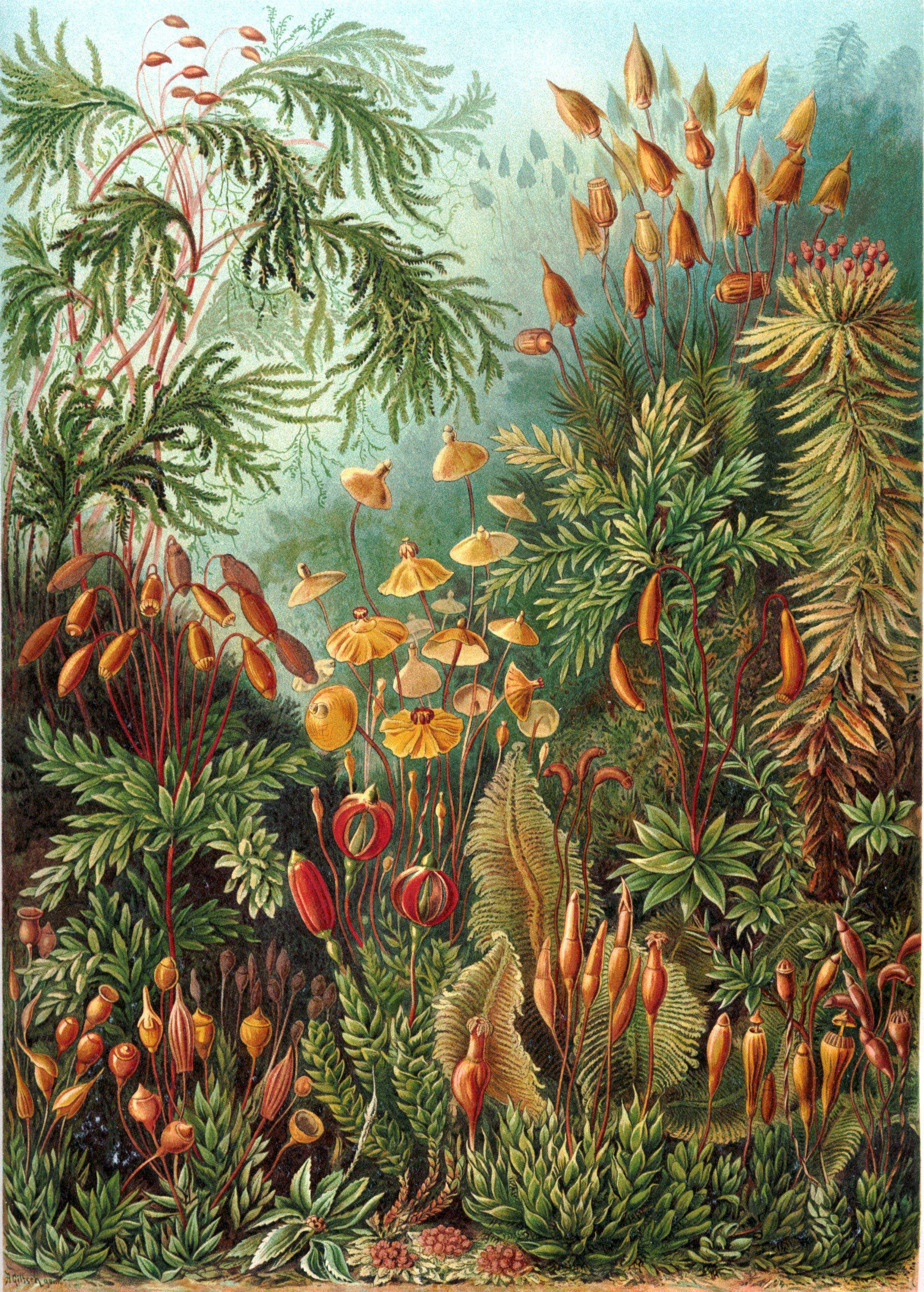 Haeckel-Muscinae