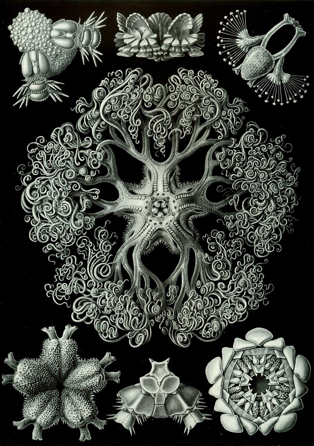 Haeckel-Ophiodea
