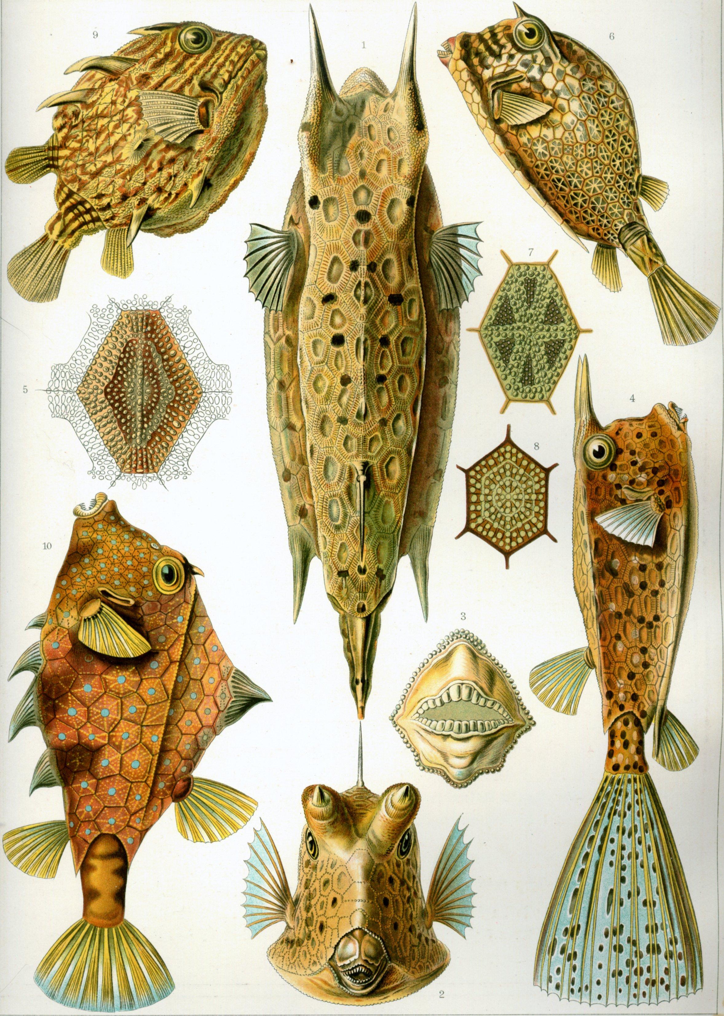 Haeckel-Ostraciontes