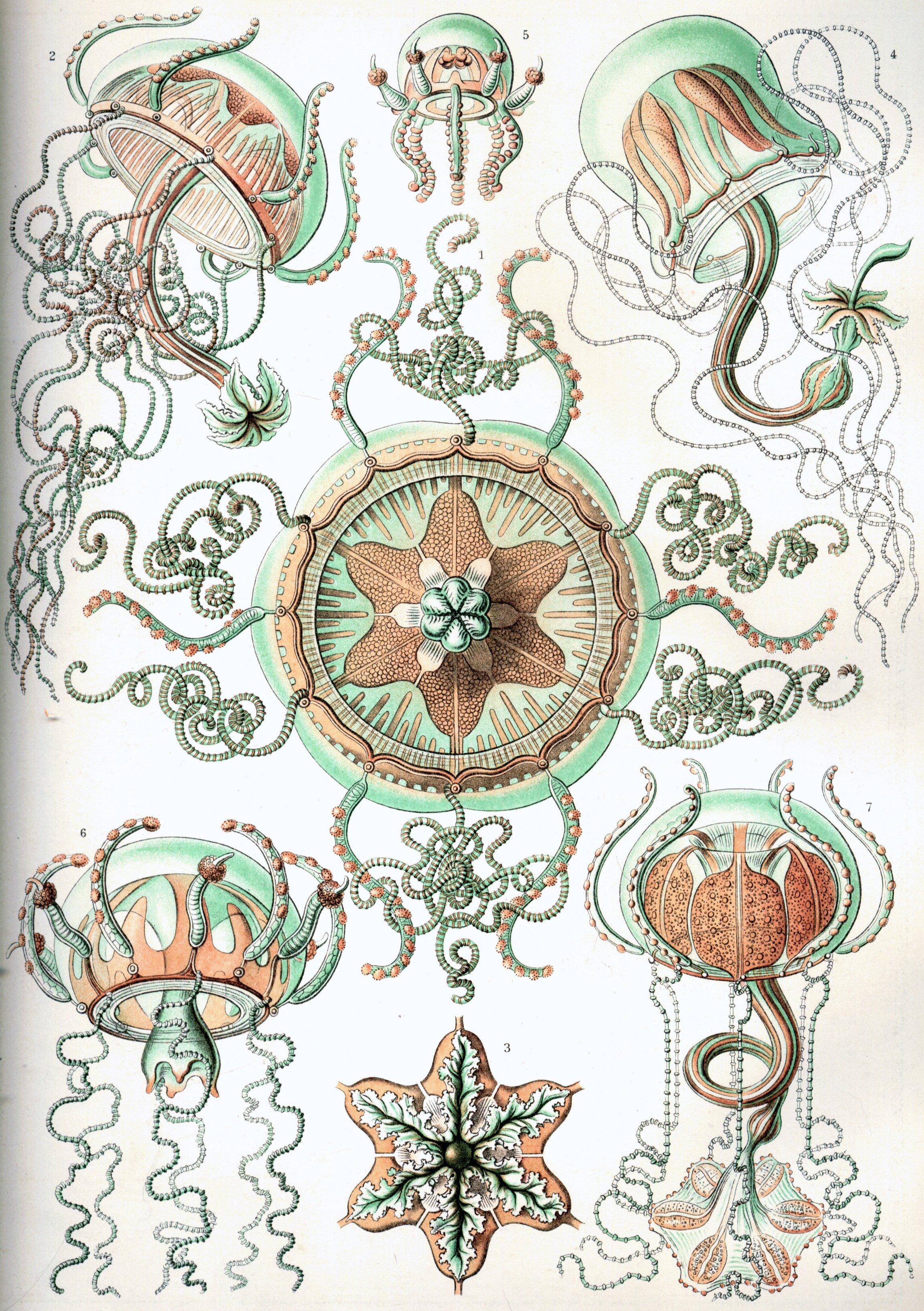 Haeckel-Trachomedusae