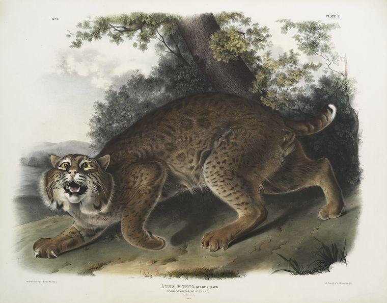 John James Audobon - American Wildcat