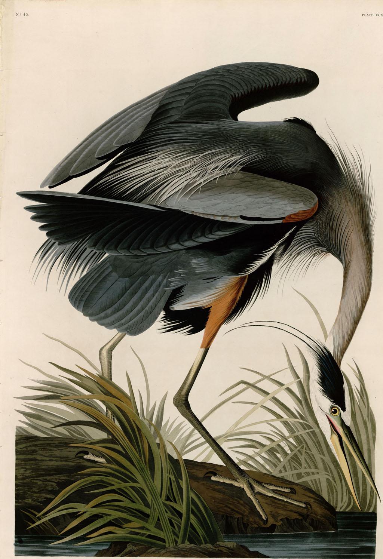 John James Audobon - Great Blue Heron