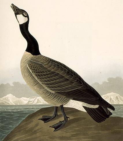 John James Audubon - Canada Goose