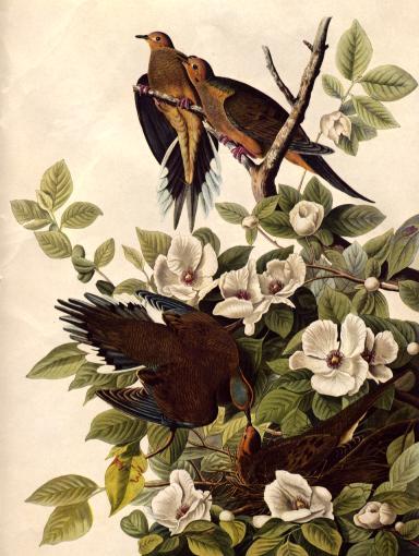 John James Audubon - Carolina Pigeon