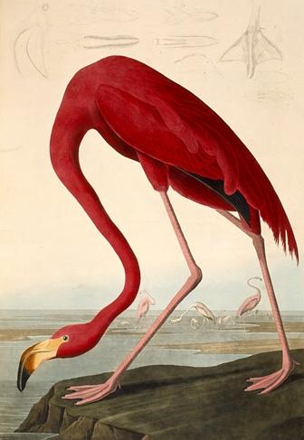 John James Audubon - Flamingo