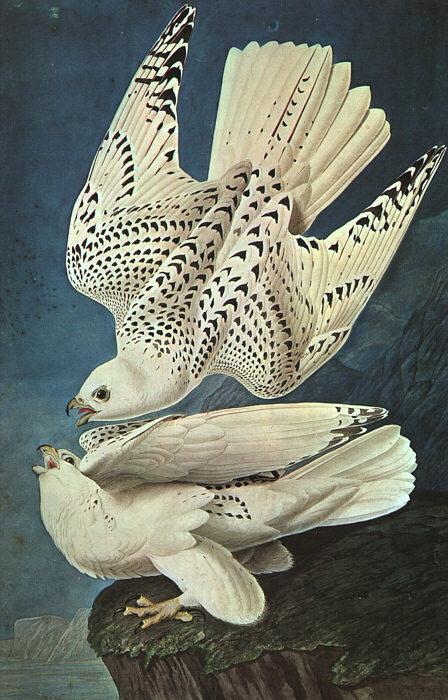 John James Audobon - White Gerfalcons